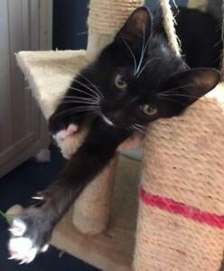Young Male  - Domestic Short Hair (Black & White)