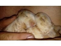 Baby rabbits to reserve as only 1 week old