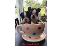 Boston Terrier Puppies - Ready to go from Saturday!