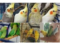 """pet """"cockatiel parrot - like"""" for sale & brand new cages"""