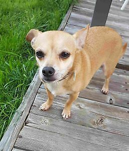 Baby Boy - Adult Male  - Chihuahua