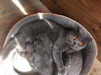 British Shorthair Pedigree Kittens Cats