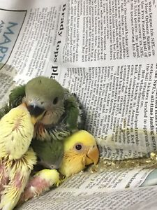 Hand Fed Hand Raised Baby Lovebirds