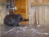 Mini Lop Rabbit babies for sale.