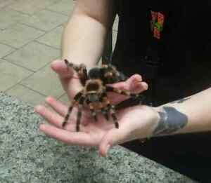Mexican Red Knee Tarantulas Available!