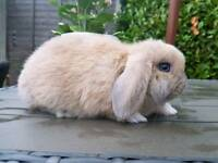 Stunning male blue eyed mini lop