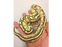 Lesser firefly female royal python
