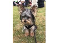 Gorgeous 6 month old female miniature Yorkshire terrier