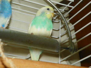 """""""Sweetie Pie"""" our Baby Budgie is For Sale"""