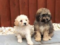 Puppies for sale first injection micro chipped and vet checked can be seen with parents