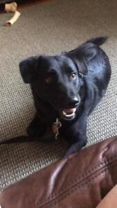 """Adult Male Dog - Labrador Retriever: """"Navi"""""""