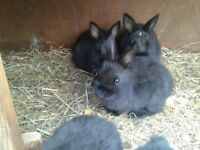 Three beautiful baby netherland dwarf rabbits ready now