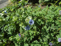 Plants for sale-Chicory plants-70p each