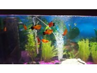 5 platy fish for sale
