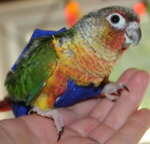 ❤★❤Conure Babiies with Cage❤★❤