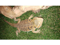 2 year old female bearded dragon with full set up
