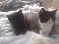 Adorable half Persian kittens