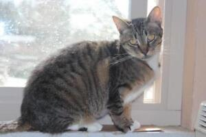 "Adult Female Cat - Tabby (Brown): ""Pansy"""
