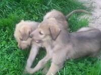 3 long haired lurcher puppies