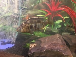5 African Cichlids for sale