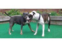 Gorjis staffie pups for sale