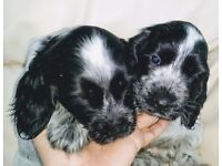2 show type blue roan boy puppies for sale.