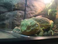 Bearded Dragon with complete set up