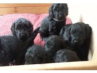 F1 Cockapoo Puppies / Cockerpoo Puppies