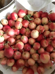 Free rescue crab apples today only Yorkton