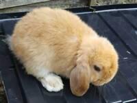 Baby Orange Mini lop