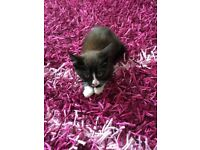 Cute female kitten for £40