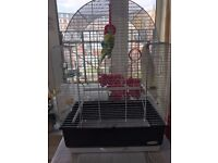 Free to good home 2 budgies with large cage