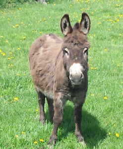 Male miniature donkey