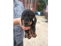 Miniature dachshund for sale
