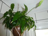 Spathiphyllum house plant