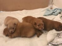 Beautiful Pomeranian Puppies ready in 5 wks