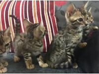 Beautiful Pure Bengal Kittens - Male and Females available - 7 weeks old