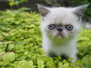 Purebred ShortHair Persian (Exotic Short Hair Kitten)