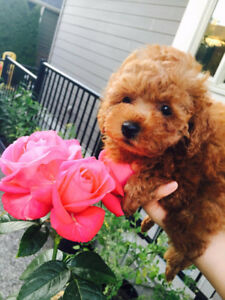 ~♡~Purebred Tiny Toy Dark Red Poodle~♡~