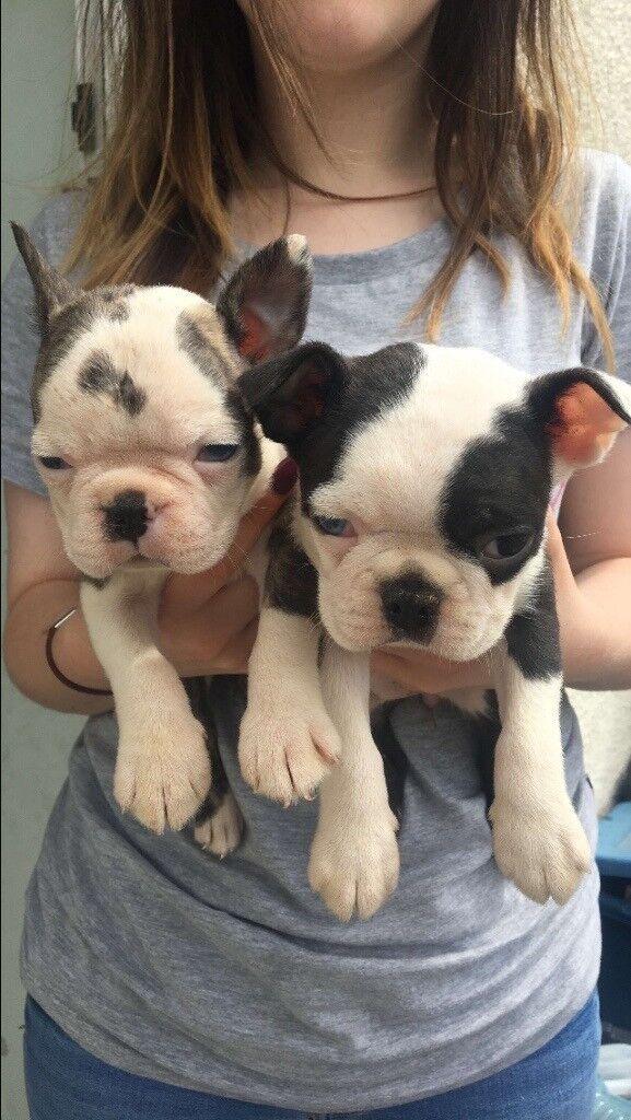 Boston terrier's