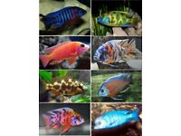 Malawi Cichlid's for Sale   2-2.5 Inches are £5.10   3-4 are Inches £7.50   Images available
