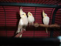 Young Cockatiel for sale