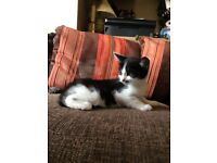 Black And White Cute Kitten Looking For A Home