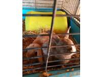 Baby rabbits x6