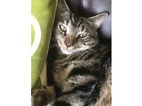 Lost male tabby cat in South Shields area.