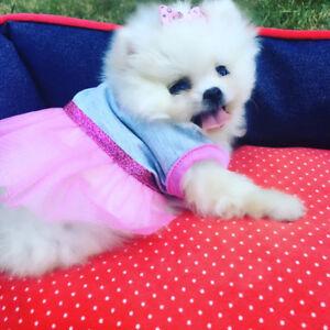 Mini Pomeranian Puppies ~ World's best quality
