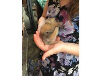 5 gorgeous mini lops for sale