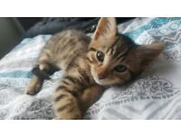 Bengal cross kittens for sale will be ready to leave 9th august