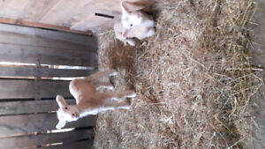 Wanted Standard weanling or yearling Donkeys