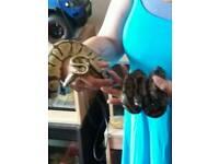 Royal pythons and viv